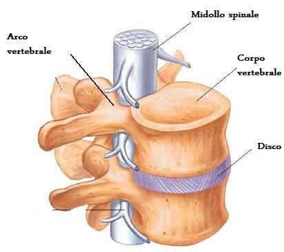 Il reparto cervicale di una spina dorsale è situato tra